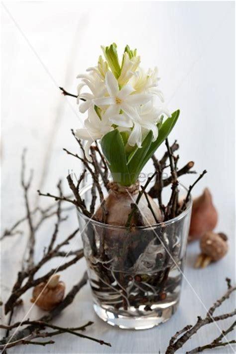 Hyazinthe Mit Blumenzwiebel Und Kurz Geschnittenen Zweigen