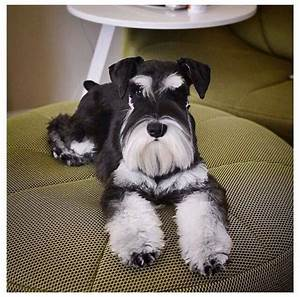100 best images about Pets on Pinterest | Giant schnauzer ...