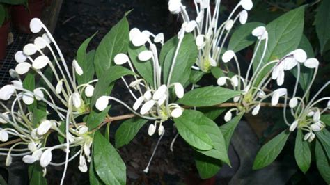 Musical Note Plant,Rotheca incisa ,Clerodendrum macrosiphon