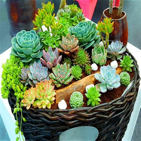 popular succulent plants popular succulent cactus plants buy cheap succulent cactus plants lots from china succulent