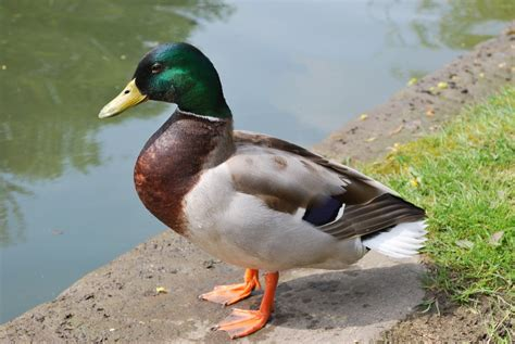 images of ducks panoramio photo of male malard duck posing for me