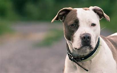 Wallpapers Pitbull Dogs Pit Bull American Terrier