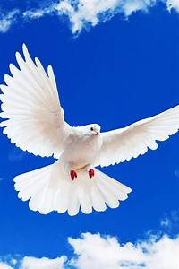 White Dove Iphone 4 Wallpapers 640x960 Hd Cell Phone Pictures