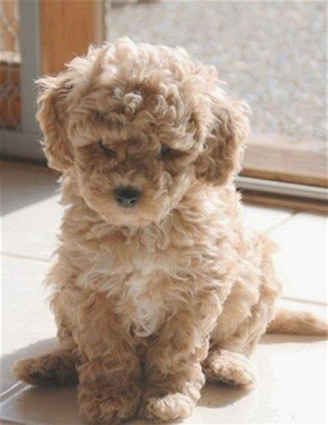 dogs that dont shed labradoodle breeds sheds and the planets on