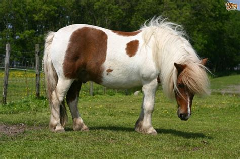 shetland pony breeds smallest ponies horse native draft miniature pet field