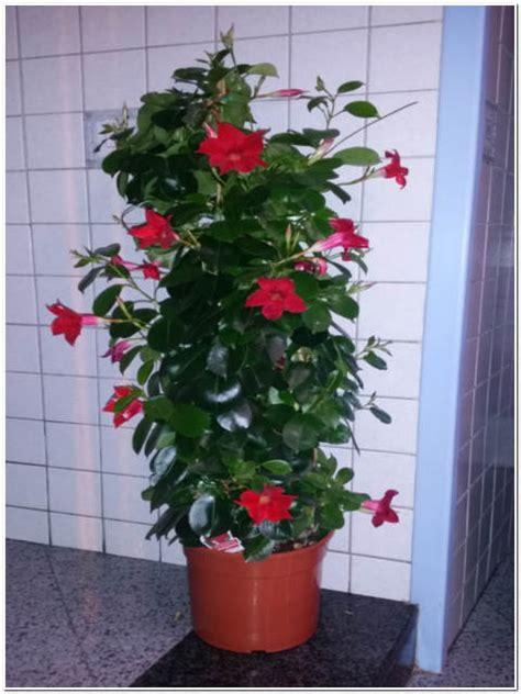 vendita lade pianta di dipladenia passione piante vivaio