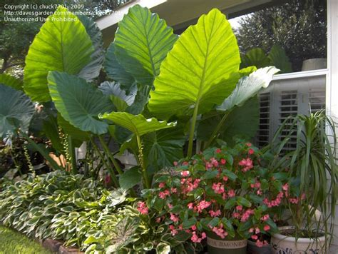 elephant ear size pin by amy hughes on gardening in the sub tropics pinterest