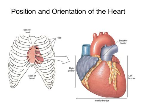 pericardial sac the cardiovascular system ppt video online download