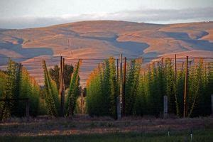sniffing  yakima valley hops beer lovers  hail