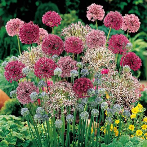 best 25 allium flowers ideas on purple garden