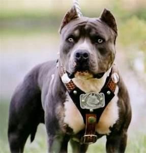 La storia dell'American Pit Bull Terrier - Pit-Bull.it