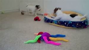 Jack Russell Terrier Playtime | Doovi