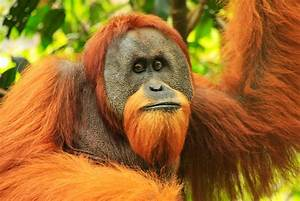 Wild animals flee to Karo hamlet from deforested Bukit ...