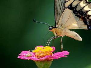 Nectar Drinking Butterfly  Nicaragua  Nicaragua