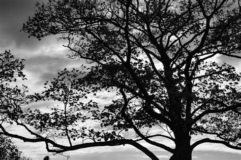 tree silhouette  stock photo public domain pictures