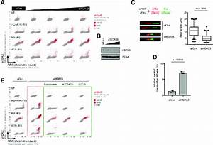 Impaired Wdr33 Function Results In Reduced Replication