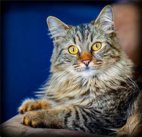 facts  maine coon cats   facts