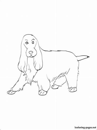 Spaniel Cocker Coloring English Pages Springer Printable