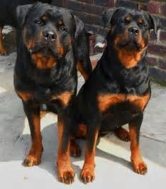Most Beautiful Rottweilers