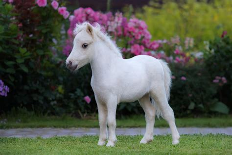 horse miniature foal american horses mini pony baby palomino planes animal shutterstock garden questions cavalli allowed might stallion pic paint