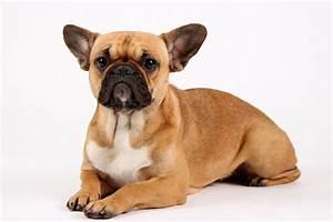 Hundebekleidung Französische Bulldogge : franz sische bulldogge mix ~ Frokenaadalensverden.com Haus und Dekorationen