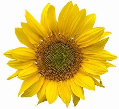 Sunflower Pngimg