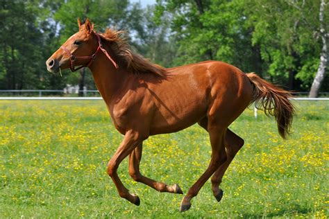 horse thoroughbred horses racing saddlebred american information know