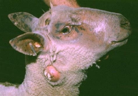 crookwell veterinary hospital animal care sheep