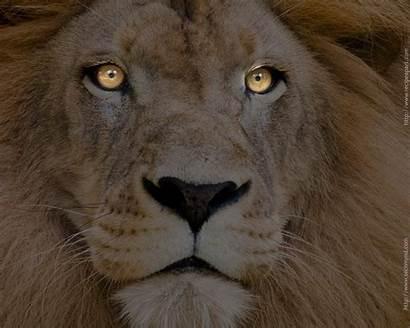 Lion Amazing Wallpapers Lions Desktop Leo Sports