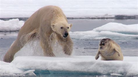hungry polar bear ambushes seal  hunt bbc earth