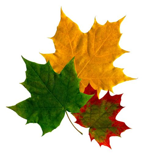 different maple tree leaves maple tree problems hubpages