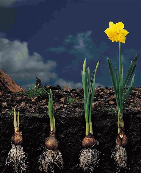 how to propagate daffodils and narcissus the garden of eaden
