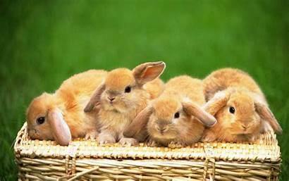 Rabbit Desktop Wallpapers Bunnies Bunny Backgrounds Wallpapertip