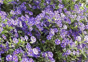 Blau Blühender Bodendecker : lycianthes rantonnetii der enzianstrauch blau bl hende balkon und k belpflanze landschaftsbau ~ Frokenaadalensverden.com Haus und Dekorationen