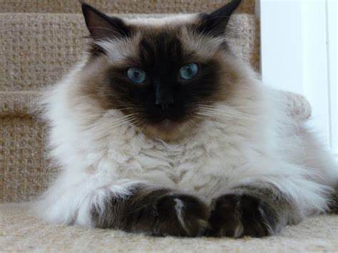 Half Ragdoll Cats  Let Them Out Or Keep Them In? Pet
