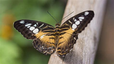 wallpaper butterfly macro  animals