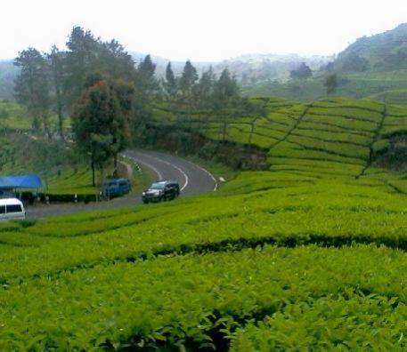 tanah dijual dijual kebun teh  hektar  ciwidey bandung