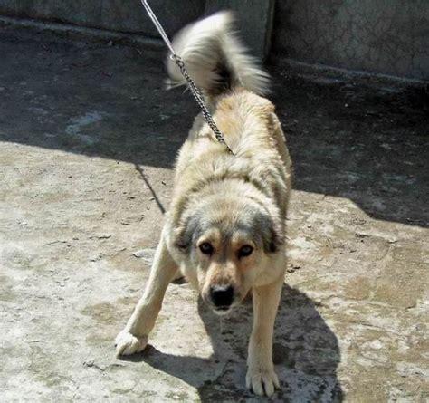 Bakharwal dog photo and wallpaper. Beautiful Bakharwal dog