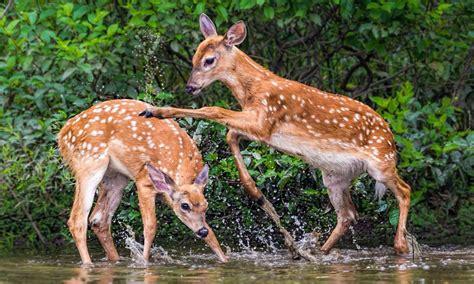young deer game mountain stream desktop hd wallpapers