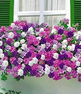 Balkonkästen Bepflanzen Beispiele : die besten 17 ideen zu petunien auf pinterest outdoor ~ Lizthompson.info Haus und Dekorationen