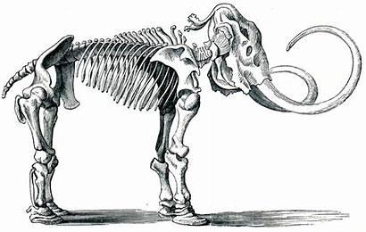 Mammoth Woolly Extinct Shutterstock Species Fossil Illustration