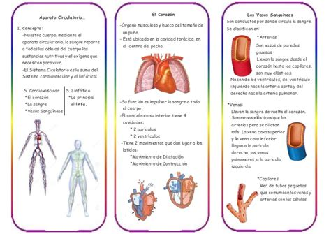 triptico sobre la respiracion triptico del sistema circulatorio