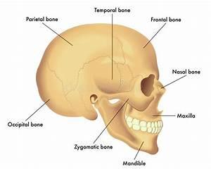 Anatomy Diagram Of A Skull Stock Vector  Illustration Of