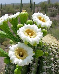 Saguaro Cactus Flowers - Saguaro cactus are the incredible ...