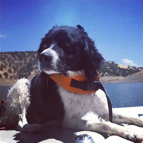 dog information the brittany spaniel dog information blog