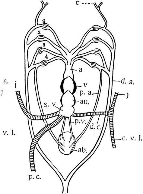 queensland lungfish heart clipart