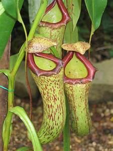 Pitcher Plant Care
