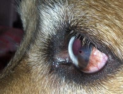 dog eye redness irritation  raised spot  lens