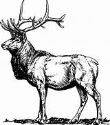 Elk Coloring Pages Printable Male Alpha Sketch Adults Wolf Template Popular Colornimbus sketch template