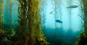 Underwater Kelp Forests Are A Treasure Trove Of New Drugs